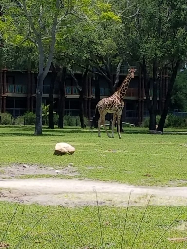 giraffe at sanaa disney at disney's animal kingdom lodge