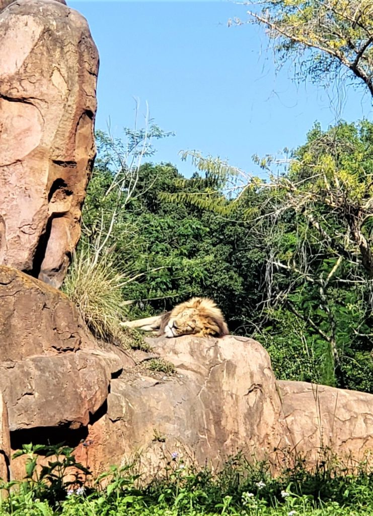 lion on kilimanjaro safari at disney's animal kingdom